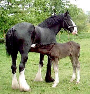 Le Shire, un cheval exceptionnel