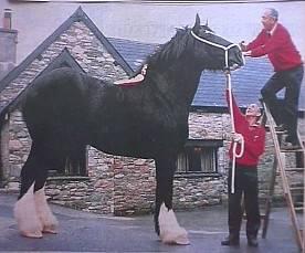 Plus grand cheval Shire