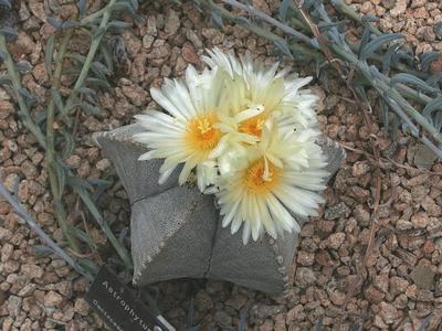 Un cactus Astrophytum