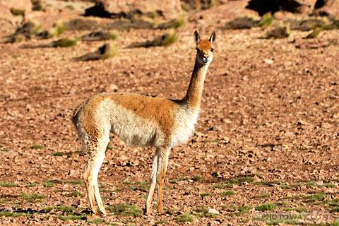 Photo d'un vigogne