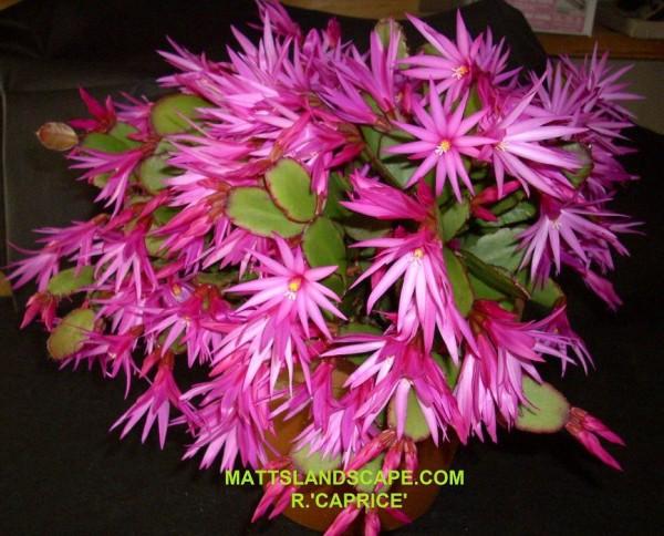 Cactus de paques rose