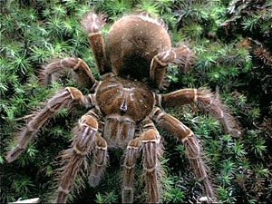 La plus grande araignée du monde