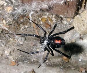 Cette petite araignée peut être très dangereuse