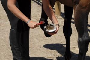 Entretien des sabots du cheval 4