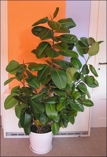 Le ficus, une plante dépolluante