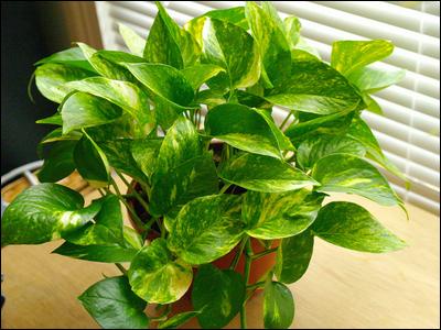Le pothos, une plante dépolluante