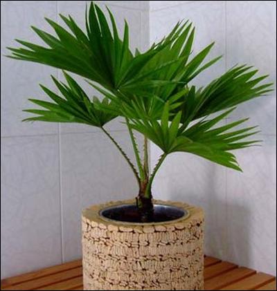Les palmiers d'appartements