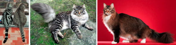 Différents marquages tabby