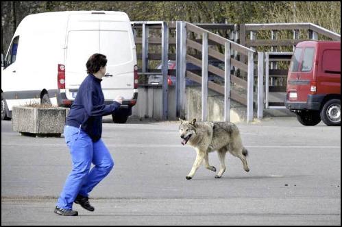 Loup à Moscou