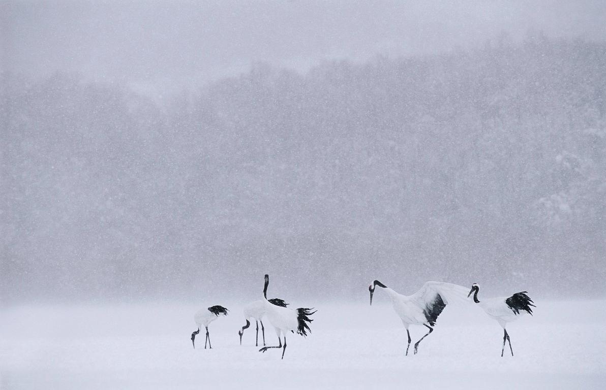 Photographie d'un groupe de grues du Japon par Vincent Munier