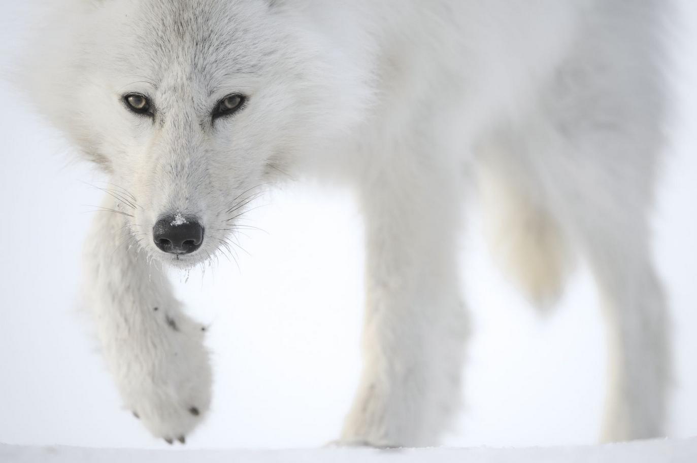 Photographie d'un Loup blanc par Vincent Munier