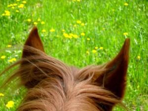 L'ouïe et l'odorat du cheval