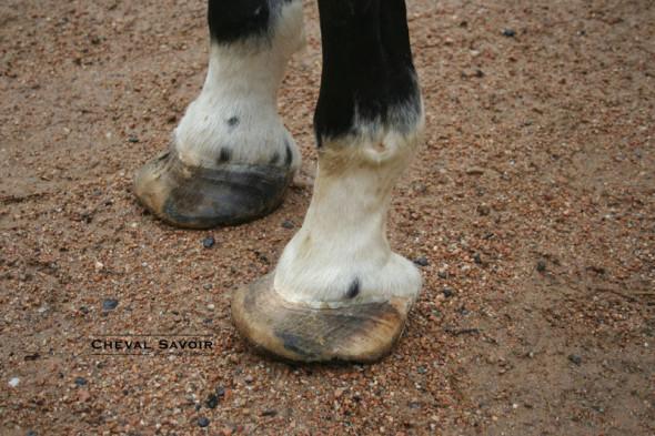 Fourbure cheval 2