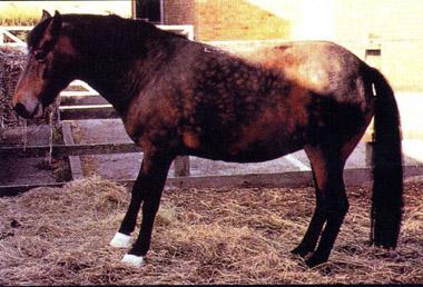Fourbure cheval 3