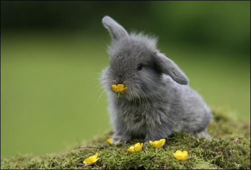 choisir la race de son lapin