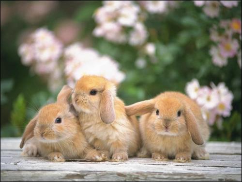 un ou deux lapins