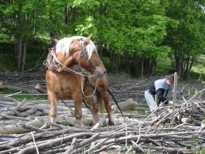 cheval harnaché prêt à la traction