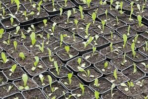semis plantes potagères au printemps