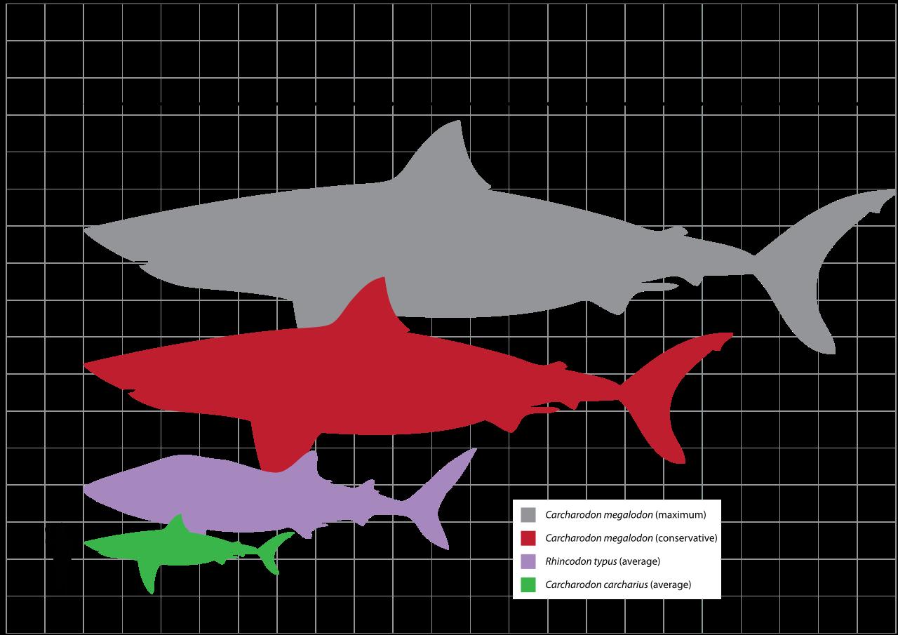 Le Mégalodon est une espèce géante de requin