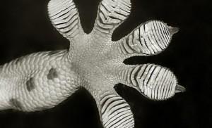 Patte du gecko inspire les adhésifs