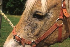 la maladie du cheval