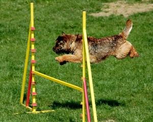 bien choisir un chien de concours