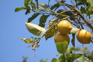 tailler son citronnier