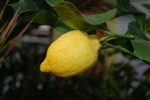 citronnier récolte citrons