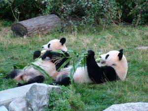 Deux pandas qui partagent leur repas