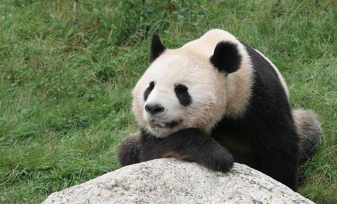 Le panda géant : les préjugés sur le mangeur de bambou