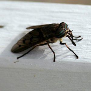 Insecte hématophage à a piqûre douloureuse