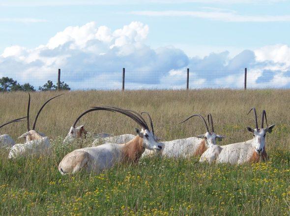 Une antilope blanche qui se raréfie