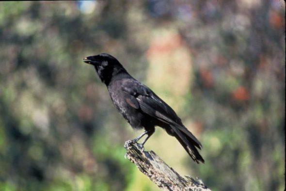 Oiseau éteint à l'état sauvage