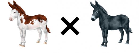 Ane pie avec âne non pie