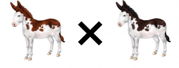 Deux ânes pies