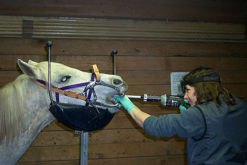 Photographie d'un dentiste équin s'occupant de la bouche et des dents d'un cheval