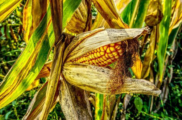 Maïs produit en France