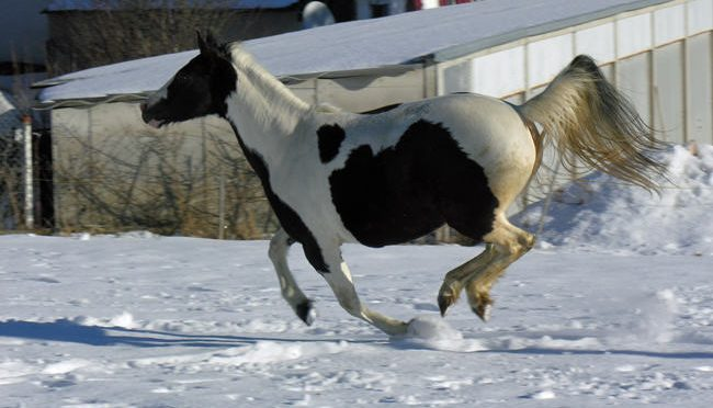 La robe pie chez le cheval