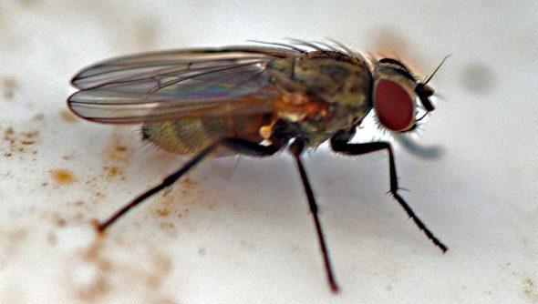 Mouche drosophile utilisée pour étude génétique