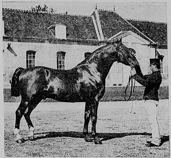 Cheval anglo normand