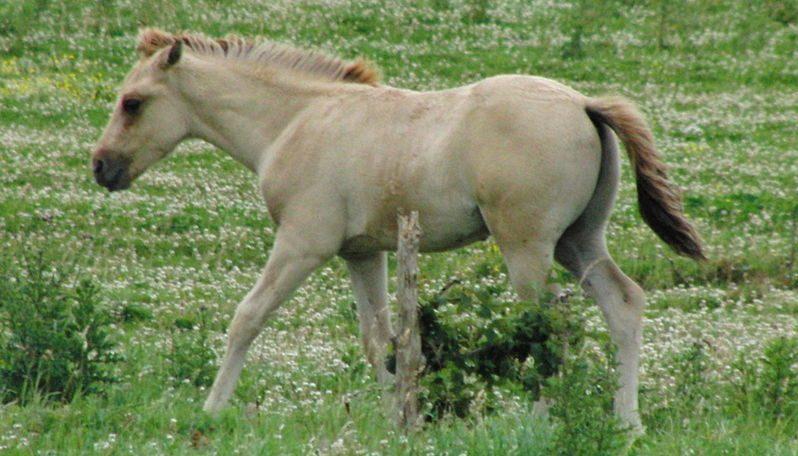 Les races de chevaux de selle français