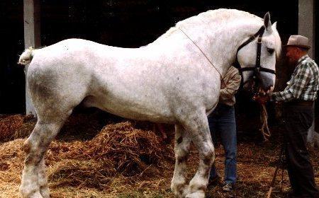 Les races de chevaux de trait français