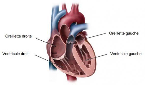 Anatomie du coeur : les cavités