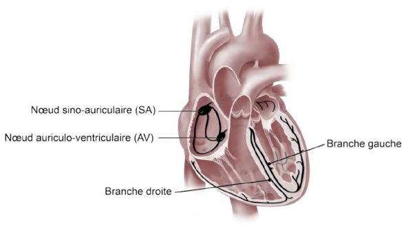 Anatomie du cœur : le circuit électrique