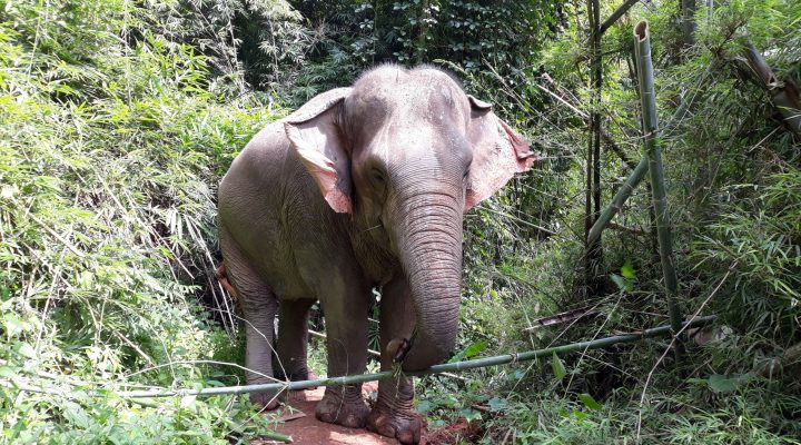 Les éléphants, symbole de la Thaïlande ou attraction touristique ?