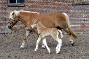 haflinger poney multi usages